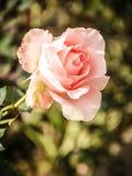 Fleur de Rose dans le rétro style Photographie stock