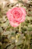 Fleur de Rose dans le style de vintage Photos libres de droits