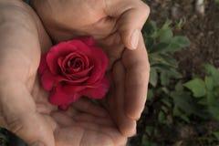 Fleur de Rose dans les mains de femelle dans le jardin Images stock