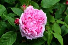 Fleur de rose de rose dans un jardin Photographie stock libre de droits