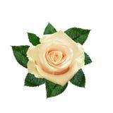 Fleur de rose de blanc Photographie stock libre de droits