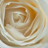 Fleur de rose de blanc Images libres de droits