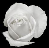 Fleur de rose de blanc, détails, fin, macro Images libres de droits
