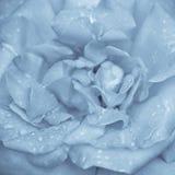 Fleur de rose de bleu Images stock
