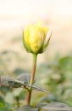 Fleur de rose de jaune avec le foyer mou pour un amour romantique Photographie stock