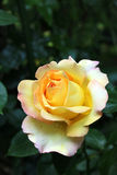 Fleur de rose de jaune sur le jardin Images libres de droits
