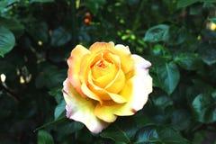Fleur de rose de jaune sur le jardin vert Été Rose Photos libres de droits