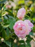 Fleur de rose de rose Image libre de droits