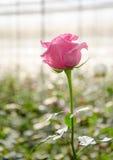 fleur de rose de rose dans le jardin Photos libres de droits