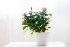 Fleur de rose de rose dans un pot sur une table Photos stock