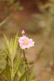 Fleur de rose de rose sauvage Photo libre de droits