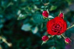 Fleur de rose de rouge, amour de jour de valentines Images libres de droits