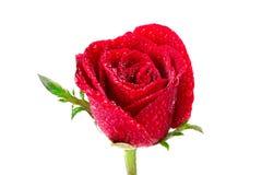 Fleur de rose de rouge avec la gouttelette d'eau sur le fond blanc Photo stock