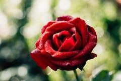 Fleur de rose de rouge dans le jardin Photos stock