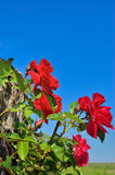 Fleur de rose de rouge dans le jardin sur le fond du ciel bleu Photographie stock libre de droits