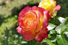 Fleur de rose de rouge dans une roseraie un jour d'été Photographie stock libre de droits