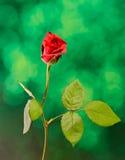 Fleur de rose de rouge, fond de bokeh de feu vert, fin  Photographie stock libre de droits