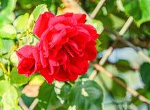Fleur de rose de rouge, fond vert naturel de bokeh Image stock