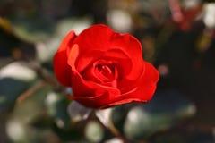 Fleur de Rose dehors Image libre de droits
