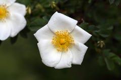 Fleur de Rose du corymbifera de Rosa d'espèces Image stock