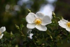 Fleur de Rose du corymbifera de Rosa d'espèces Photographie stock
