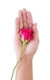 Fleur de Rose en main, sur le fond blanc Images libres de droits