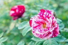 Fleur de Rose et fond vert de feuille dans le jardin d'agrément rose à l'été ou à la journée de printemps ensoleillé Photos stock