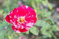 Fleur de Rose et fond vert de feuille dans le jardin d'agrément rose à l'été ou à la journée de printemps ensoleillé Photo libre de droits