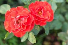 Fleur de Rose et fond vert de feuille dans le jardin d'agrément rose à l'été ou à la journée de printemps ensoleillé Images stock