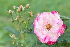 Fleur de Rose et fond vert de feuille dans le jardin d'agrément rose à l'été ou à la journée de printemps ensoleillé Photographie stock