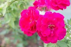 Fleur de Rose et fond vert de feuille dans le jardin d'agrément rose à l'été ou à la journée de printemps ensoleillé Photographie stock libre de droits