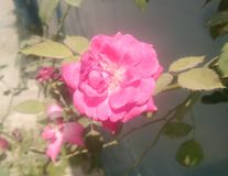 Fleur de Rose et de nature de feuilles illustration libre de droits