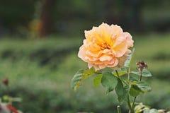 Fleur de Rose ; orange photo stock