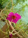 Fleur de rose de paysage image libre de droits