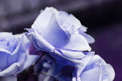 Fleur de Rose plantée Photo libre de droits