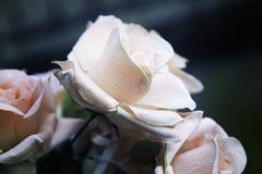 Fleur de Rose plantée Image stock