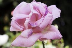 Fleur de Rose plantée Photographie stock libre de droits