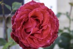 Fleur de Rose plantée Photo stock