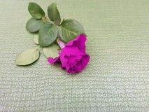 fleur de rose de pourpre, pour des annonces ou des messages de l'amour, avec le fond vert clair Photos libres de droits