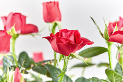 Fleur de Rose rouge Photo stock