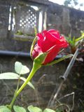 Fleur de rose de rouge de Beautifup du Sri Lanka photos libres de droits