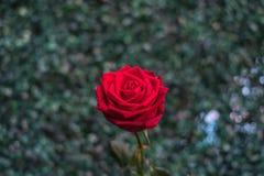 Fleur de rose de rouge sur la nature verte dans le jour du ` s de Valentine Image libre de droits