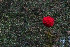 Fleur de rose de rouge sur la nature verte dans le jour du ` s de Valentine Photographie stock