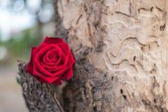 Fleur de rose de rouge sur le bois d'arbre dans le jour du ` s de Valentine Image stock