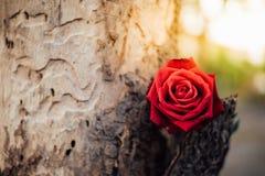 Fleur de rose de rouge sur le bois d'arbre dans le jour du ` s de Valentine Photos stock