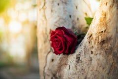 Fleur de rose de rouge sur le bois d'arbre dans le jour du ` s de Valentine Image libre de droits