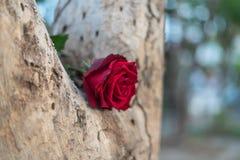 Fleur de rose de rouge sur le bois d'arbre dans le jour du ` s de Valentine Photos libres de droits