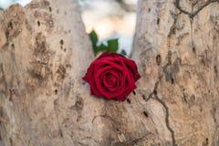 Fleur de rose de rouge sur le bois d'arbre dans le jour du ` s de Valentine Photo stock
