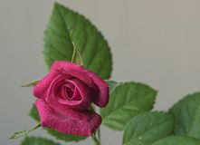 Fleur de Rose sur la fin verte de fond de feuillage  photo stock
