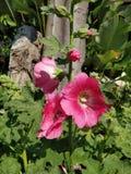 Fleur de rose trémière photographie stock